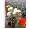南阳藤蔓月季_想买性价比最高的盆栽月季,就到南阳吉华月季园