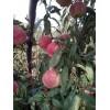 哪里能买到极好的映霜红果树苗_优质的映霜红果树苗