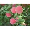 浙江映霜红桃树苗 潍坊哪里能买到映霜红桃树苗