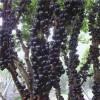 漳州树葡萄供应,漳州树葡萄生产基地,漳州树葡萄零售,志东供