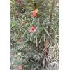 红豆杉价格_红豆杉的功效与作用_红豆杉药用价值-山东红豆杉批发基地-鹰松供
