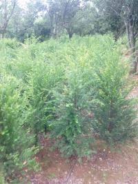 2公分红豆杉|3公分红豆杉|4公分红豆杉|5公分红豆杉