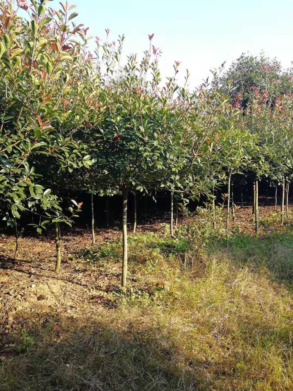6公分红叶石楠|7公分红叶石楠|8公分红叶石楠