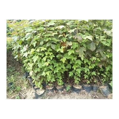 供应木荷杯苗、枫香杯苗、湿地松杯苗、杜英杯苗