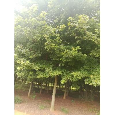 江西宜春枫香树、10公分枫香树价格、12-15公分枫香树行情