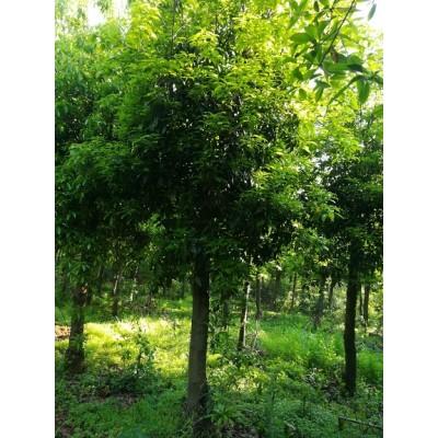 木荷树批发10公分12公分15公分13公分木荷树批发市场价格