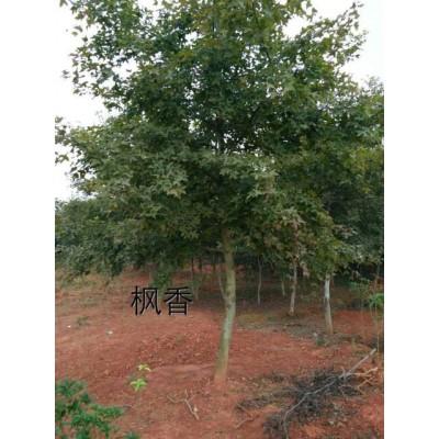 枫香树批发基地13公分12公分15公分18公分枫香树市场价格